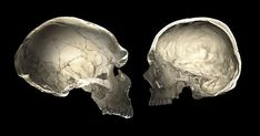 DNA fragments from Neandertals in the human genome shed light on brain evolution Dna, Human Family Tree, Liverpool John Moores University, Brain Size, Human Genome, Homo, Early Humans, Modeling Techniques, Human Skull