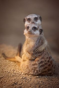 As Biff and Wendy posed at Meerkat Prom, he knew he should have sprung for a corsage.