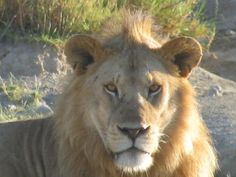 Africa's Big 5 Facts and Information: African Lion (Panthera leo)