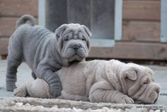 Viva and Rumba shar pei puppies - Qi Ming Xing shar pei kennel - Picasa Web…