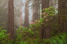 Flowering Among Giants - Recently I headed up the California coast with fellow photographers Jave and Alan to see some of the world's tallest trees - the coastal redwoods. These trees are absolute behemoths and dwarf everything around them. Every spring, the wild rhododendrons at the base of the forest bloom their brilliant pink flowers. Coupled with some coastal fog, the forest becomes eerie yet beautiful with the splashes of pink.