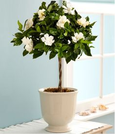Sweet Fragrance Of Gardenia Flowers In The Bedroom Has Effectiveness Impact In Relaxing The Body And Brain Best Indoor Plants For Bedroom Air Quality And Restful Sleep bedroom houseplants. plants in bedroom ideas. bedroom plants oxygen at night. Patio Plants, Potted Plants, Plants In Pots, Indoor Flowering Plants, Potted Trees, Small Plants, Flowering Trees, Tropical Flowers, Indoor Flowers