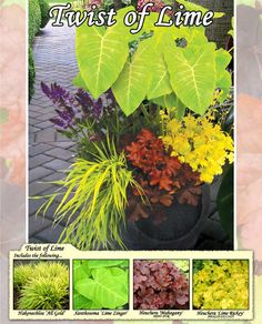 Good ideas for shade containers.  (Most of these contains shade-loving plants.) A continuation of my passion for chartreuse and lime green with burgundy in the garden.  The lime green just pOps int he shade.