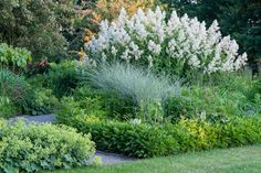 Now that the beautybush has faded, pride of place goes to the amazing perennial, giant white fleece flower (Persicaria polymorpha).