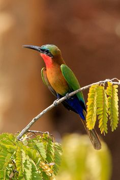 Birds of East Africa - Red-throated Bee-Eater