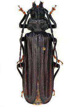 Chorenta reticulatus