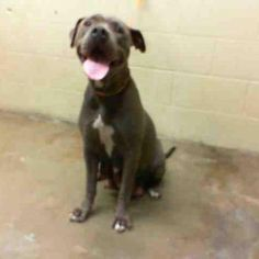 ✿ڿڰڿ♥♥ڿڰڿ✿MOMMA SALLY - ID#A438611 ✿ڿڰڿ♥♥ڿڰڿ✿ (DUE OUT 12/11) ~ VERY URGENT!  ✿ڿڰڿ♥♥ڿڰڿ 5 PUPPIES ✿ڿڰڿ♥♥ڿڰڿ✿ ~ VERY URGENT!  I am a female, blue and white Pit Bull Terrier. My age is unknown. I have been at the shelter since Dec 05, 2012.  San Bernardino City Animal Control at (909) 384-1304    https://www.facebook.com/photo.php?fbid=3734470014206=a.3186215868195.111836.1649756531=1=nf