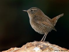 Winter Wren Image Database, Bird Crafts, Wren, Oriental, Birds, Shop, Animals, Beautiful, Animales