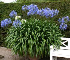 Förökning av Afrikas blå lilja –... | Wexthuset