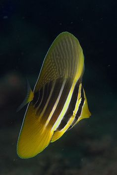 Sailfin Tang