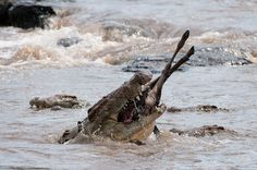 What you should know about the Wildebeest Migration in the Serengeti & Masai Mara before you book your African safari. The Great Migration, African Safari, Africa Travel, Bald Eagle, Camping, Crocodile, Fill, Campsite, Crocodiles