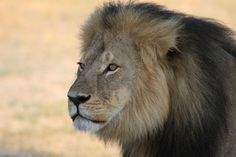 Cecil's Death Just Got More Depressing: His 12 Cubs Will Probably Die Now