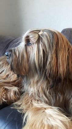 Briard Guard Dog Breeds, Loyal Dog Breeds, Loyal Dogs, Really Big Dogs, I Love Dogs, Nice Dogs, Large Dog Breeds, Large Dogs, Most Beautiful Dogs