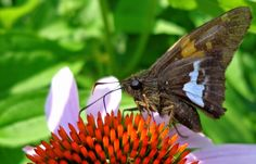 Echinops & a Silver Spotted Skipper from my garden last year.