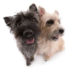 Artlist Collection THE DOG (Cairn Terrier) — Have a wonderful day!!