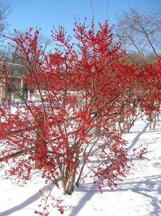 10 Cold Hardy Plants With A Winter WOW Factor ~ Bees and Roses Winterberry Holly Winterberry liefert wunderschöne rote Beeren wie Holly Bush, aber der Garden Types, Rose Winter, Holly Shrub, Holly Bush, Hardy Plants, Trees And Shrubs, Evergreen Shrubs, Winter Colors, Winter Landscape