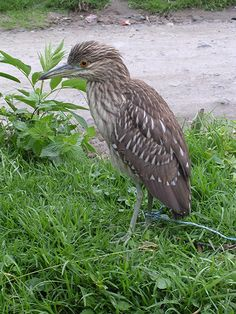 Rufescent Tiger Heron (Tigrisoma lineatum), also known as the Soco-Boi, is a species of heron in the Ardeidae family.