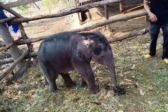 Đắk Lắk: Voi rừng 2 tháng tuổi rơi xuống giếng - http://www.daikynguyenvn.com/viet-nam/dak-lak-voi-rung-2-thang-tuoi-bi-roi-xuong-gieng.html