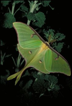 Luna Moth chest piece example of wing positioning, not colour. Beautiful Bugs, Beautiful Butterflies, Amazing Nature, Moth Caterpillar, Paludarium, Bugs And Insects, Chenille, Mundo Animal, Natural World
