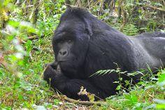 Premier Safaris. Rukundo, the gentle giant
