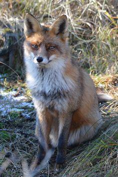 26 maart 2016 - Ja hoor kwam hem weer tegen, de mooist getekende vos van de AWD