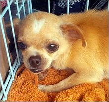 Croi, a 1-year-old chihuahua, just 4 pounds, available for adoption in Columbus, Ohio