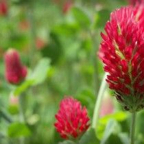Crimson Clover is great for nitrogen production, soil building, erosion prevention, and bees love it!