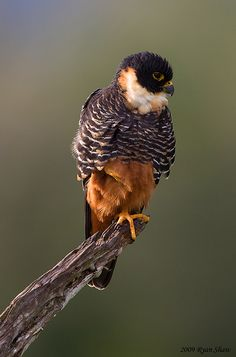 Bat Falcon by Ryan Shaw. The Bat Falcon (Falco rufigularis) is a resident of tropical Mexico, Central and South America, and Trinidad.