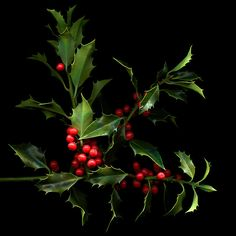 """image mis chestchest """" O h by gosh by golly, it's time for Mistletoe & Holly"""". Ever wonder why both Mistletoe and Holly . Holly Berries, Red Berries, Winter Berries, Noel Christmas, Country Christmas, Christmas Decor, Green Leaves, Seasons, Colours"""
