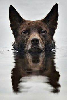 Australian Kelpie Dog Breed Information, Popular Pictures Love My Dog, Beautiful Dogs, Animals Beautiful, Cute Animals, Amazing Dogs, Animals Dog, Beautiful Images, Dog Rules, Tier Fotos