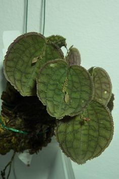 Lepanthes tentaculata - Miniatura che si trova nelle foreste pluviali dell'Ecuador a 750m di altitudine.