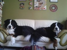 Bernese Mountain dogs- just like Denali and Toby
