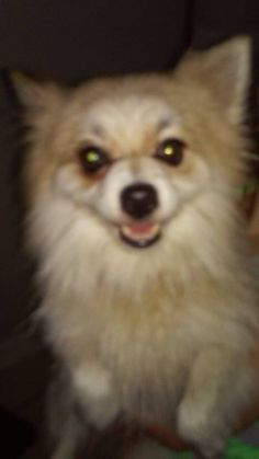 #Founddog 8-10-14 #Jacksonville #FL #Pomeranian male red collar Greenfield Elementary Knights Lane HEATHER HOLDER le MIEUX https://m.facebook.com/story.php?story_fbid=662413837182105&id=128776117212549