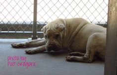 MEGA URGENT - A3469439 My name is Austin. I am an 8 yr old neutered male white Chinese Sharpei mix. My owner left me here on April 7. available now. Austin doesn't seem like he's doing too well. would not get up or take treats  Baldwin Park shelter Open for Adoptions 7 days a Week 4275 Elton Street, Baldwin Park, California 91706 Phone 626 430 2378  https://www.facebook.com/photo.php?fbid=763386420339864&set=a.705235432821630&type=3&theater
