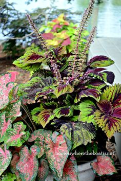 Coleus and Caladiums