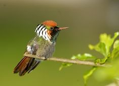 Photo Frilled Coquette (Lophornis magnificus) by Luiz Ribenboim | Wiki Aves - The Encyclopedia of Brazilian Birds