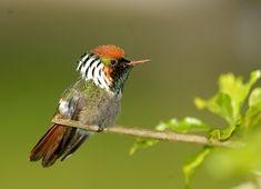 Photo Frilled Coquette (Lophornis magnificus) by Luiz Ribenboim   Wiki Aves - The Encyclopedia of Brazilian Birds