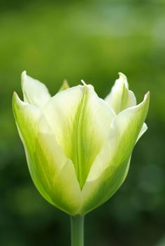 Buy viridiflora tulip spring green bulbs Tulipa 'Spring Green': Delivery by Crocus