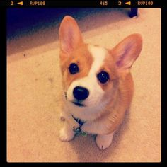 Baby Corgi. #Pembroke #Welsh #Corgi #Puppy #Dog
