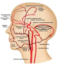 VESSEL PATHWAY The external carotid artery is a branch of the common carotid artery. Aorta → Brachiocephalic (only on right) → Common C… Nerve Anatomy, Brain Anatomy, Human Anatomy And Physiology, Medical Anatomy, Body Anatomy, Cranial Nerves Anatomy, Internal Carotid Artery, Vertebral Artery, Arteries Anatomy
