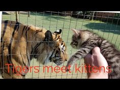Tigers, Tigers Everywhere – Pets and Animals