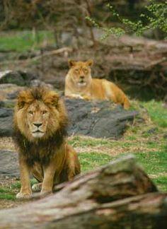 Leones atentos en el zoológico de #Bronx, uno de los grandes atractivos para disfrutar en #NewYork.