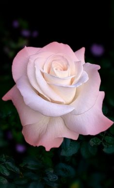 Luckier recognized rose growing guide for beginners Offer Expires Beautiful Flowers Wallpapers, Beautiful Rose Flowers, Exotic Flowers, Amazing Flowers, Unique Roses, Tropical Flowers, Home Flowers, Flowers Nature, Hybrid Tea Roses