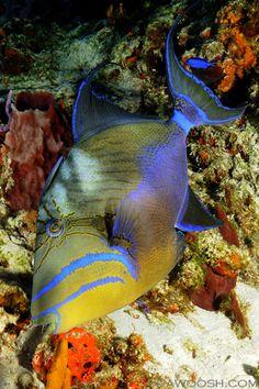 Looovvvve trigger fish - Queen Triggerfish - Balistes vetula