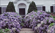 Wow, wow, wow - hydrangeas do best in coastal areas, which are similar in climate to the places in Japan where they grow wild. This jaw-dropping planting is in Chatham, MA, out on Cape Cod.
