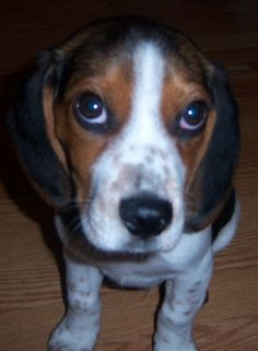 Beagles sniff out bed bugs #news