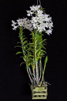 Dendrobium sanderae var. luzonicum