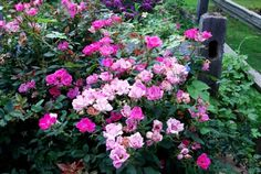 11 Pink Knock-Out Roses, 6 by corner of back yard near burning bush, 5 by South East corner of house near lilac bush