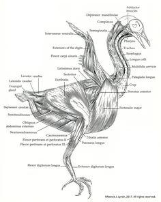 Manual of Ornithology – Patrick Lynch Anatomy Study, Anatomy Art, Anatomy Reference, Bird Drawings, Animal Drawings, Pigeon, Hippo Drawing, Amazing Animals, I Like Birds