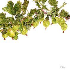 Immagine di http://www.janiepirie.co.uk/images/prints/large/gooseberry-invicta.jpg.